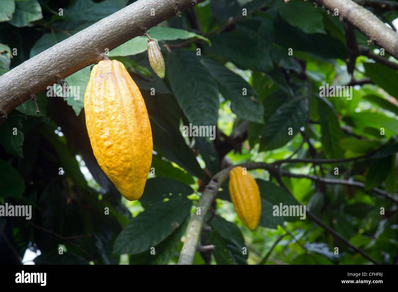 Cocoa pods hang from their tree on a farm in the Rwenzori Mountains near Bundibugyo, western Uganda. - Stock Image