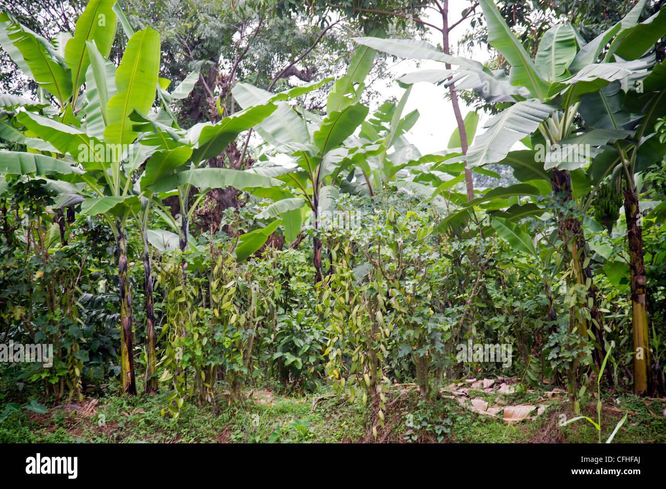 Vanilla farm in the Rwenzori Mountains near Bundibugyo, western Uganda. - Stock Image