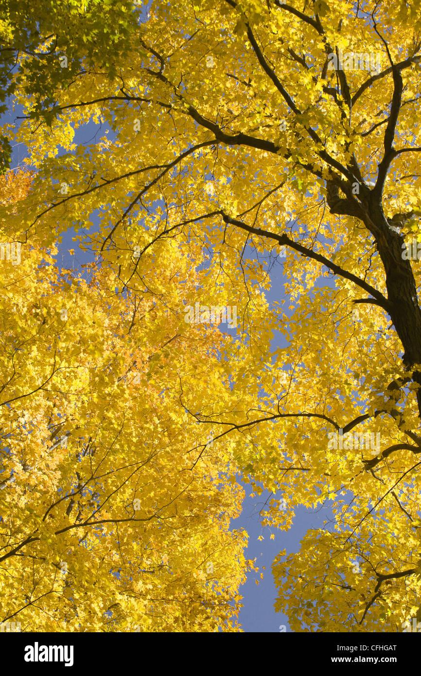 Yellow autumn leaves - Stock Image