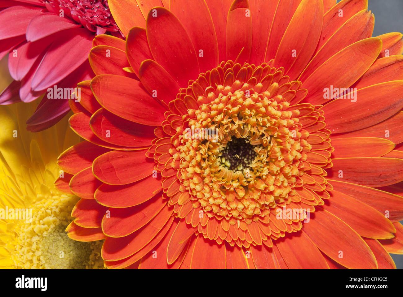 Colorful Gerbera daisies - Stock Image