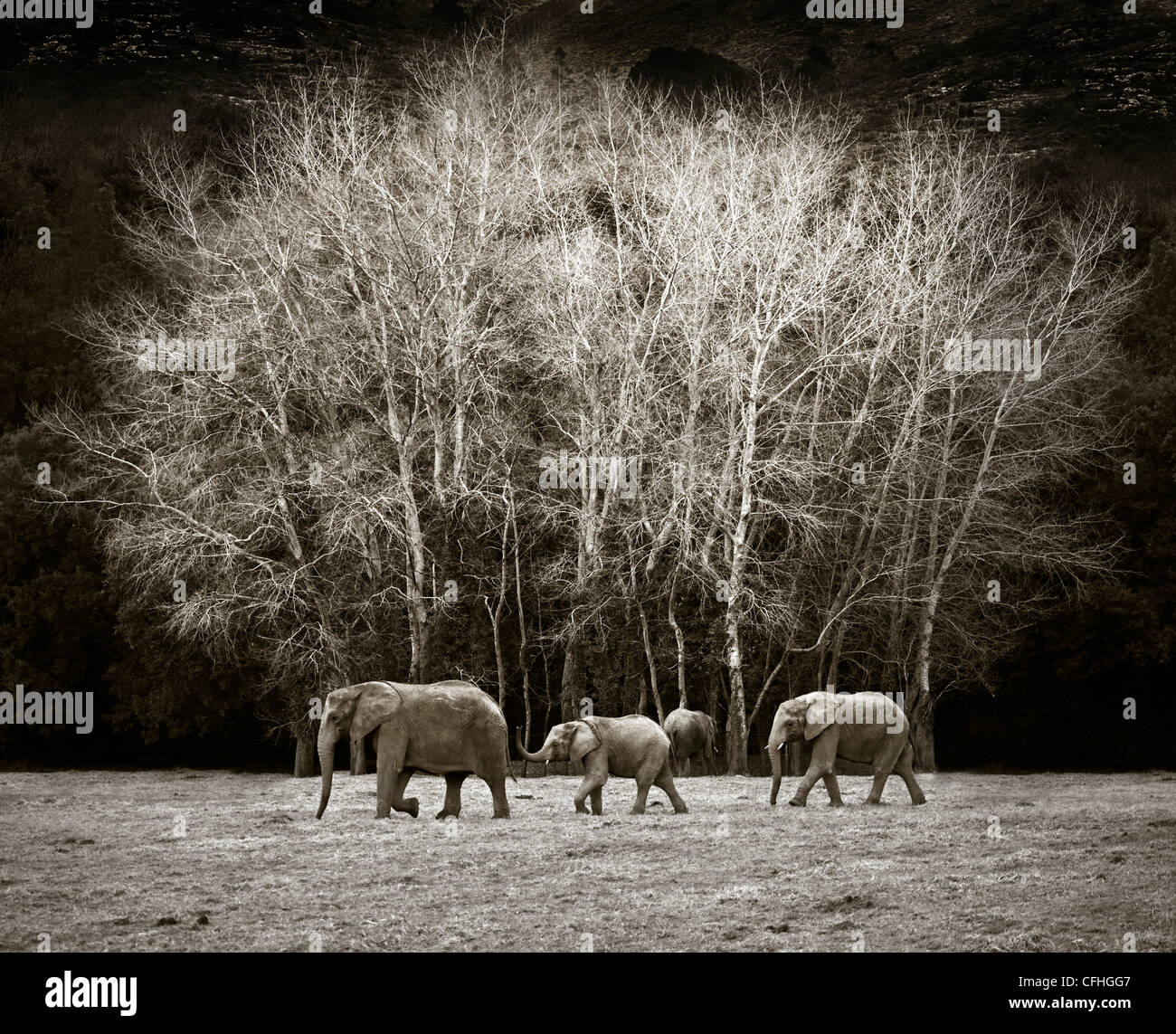 Three African elephants walking, Cabarceno, Spain - Stock Image