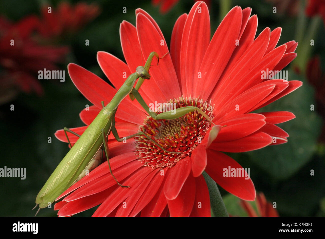 Praying Mantis (Mantis religiosa) on a gerbera daisy - Stock Image