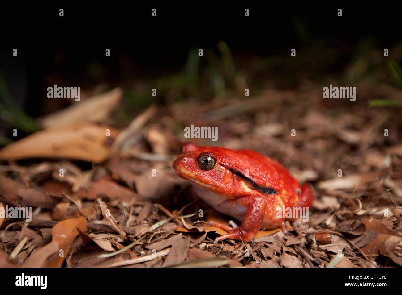 Tomato frog on forest floor. Maroantsetra, Northeast Madagascar - Stock Image