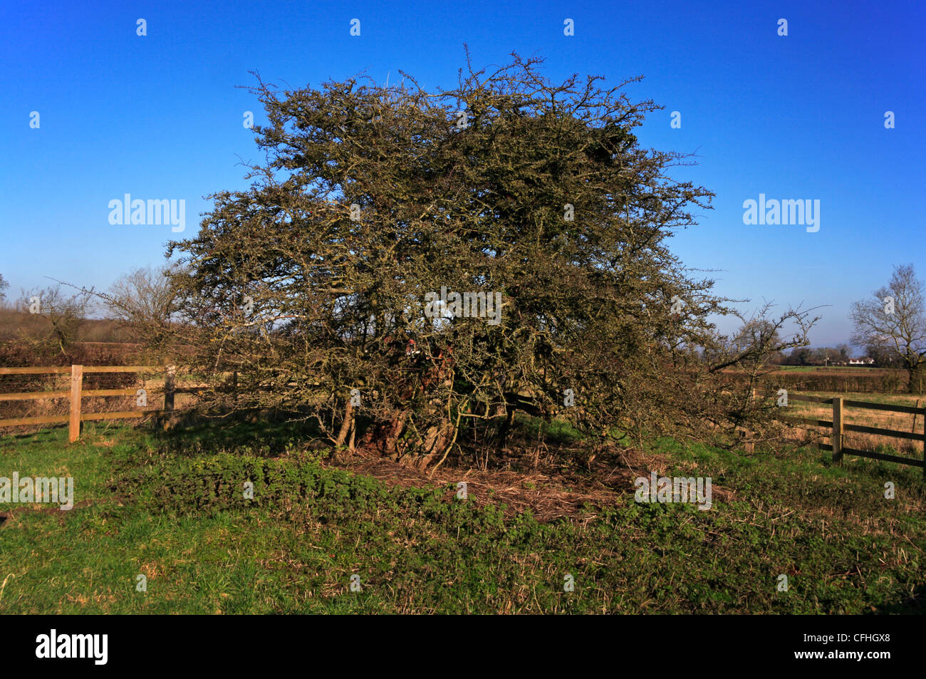 The ancient Hawthorn tree known as the Hethel Thorn at Hethel, Norfolk, England, United Kingdom. - Stock Image