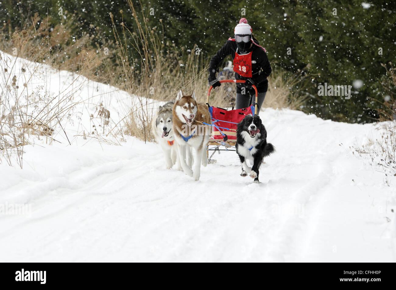 Sled dog race - Stock Image