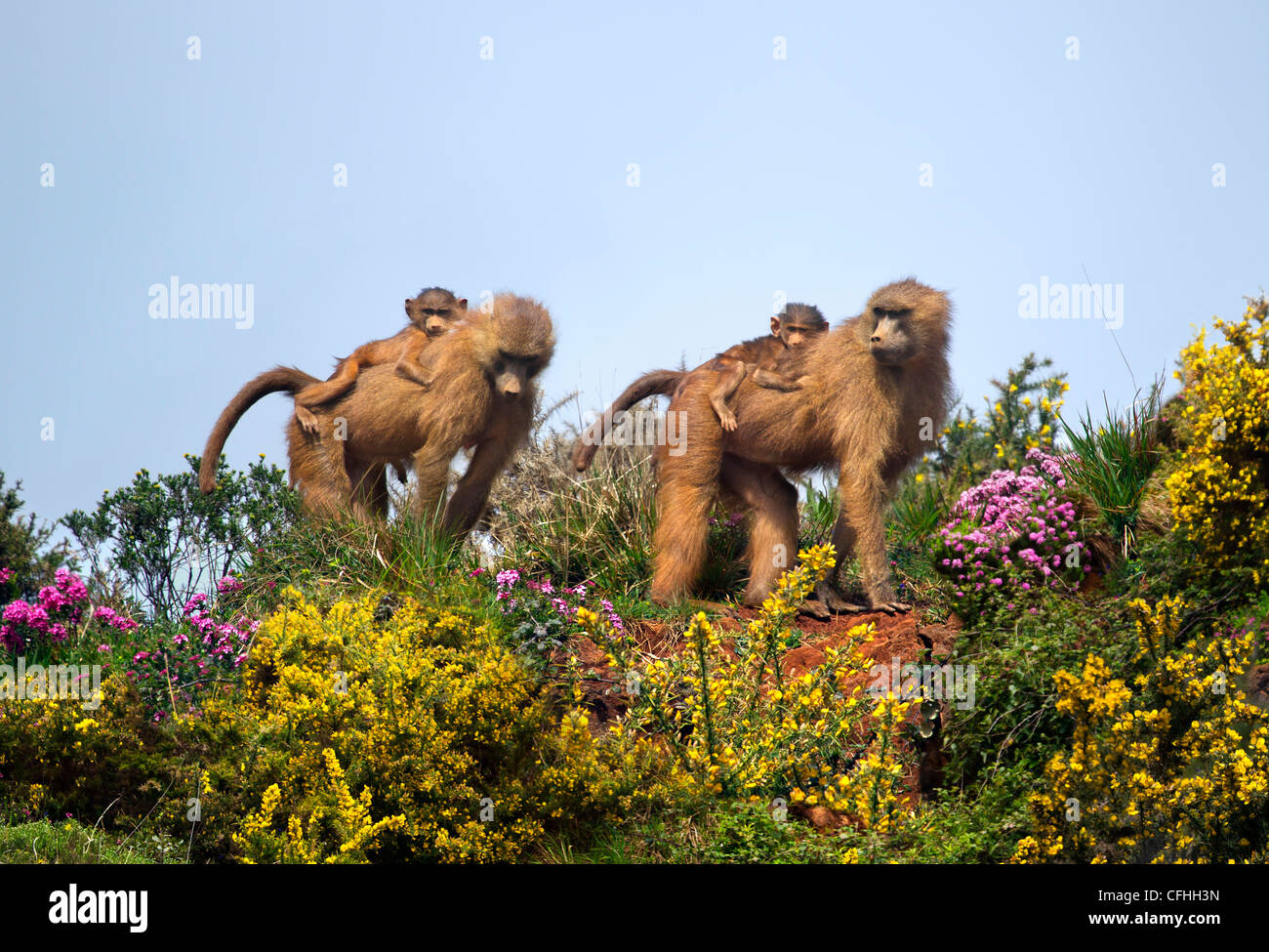 Two Guinea Baboons with infants, Cabarceno, Spain - Stock Image