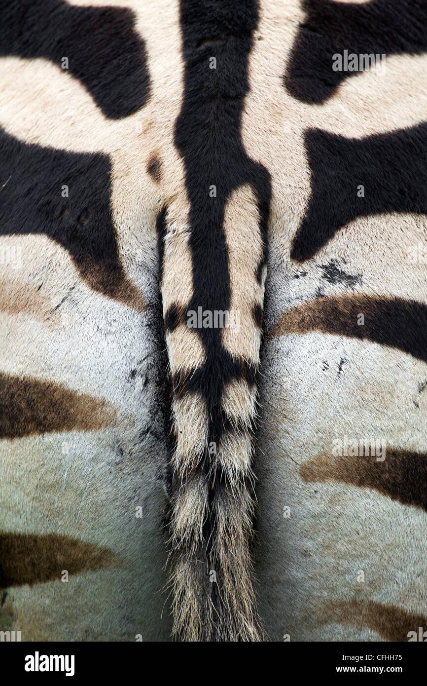 Zebra close up, Cantabria, Spain - Stock Image