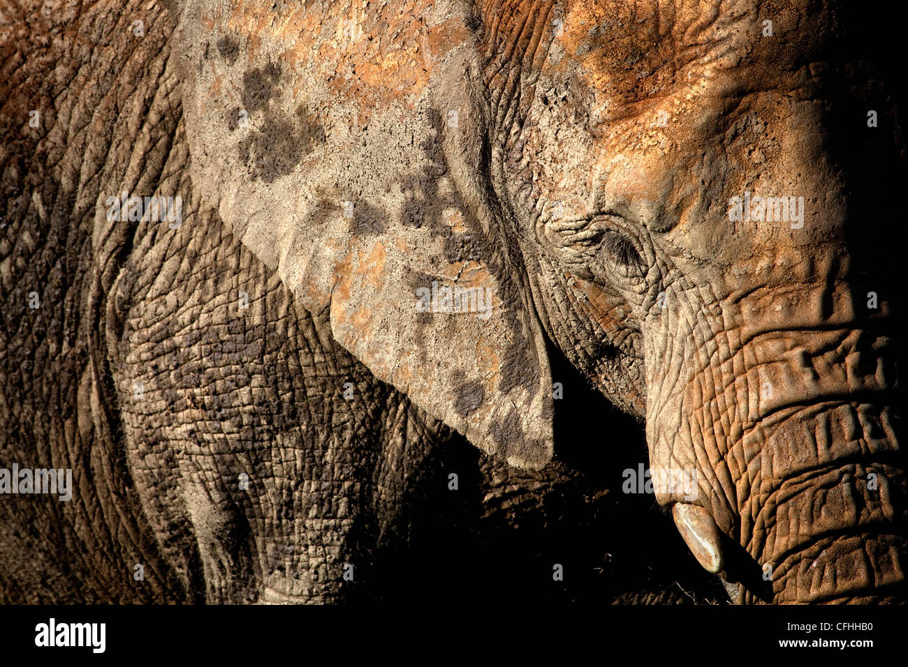 African elephant portrait, Cabarceno, Spain Stock Photo