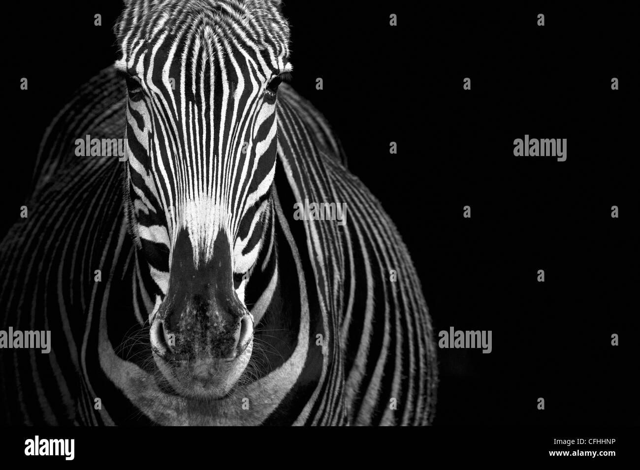 Grevy's Zebra, Cabarceno, Spain - Stock Image