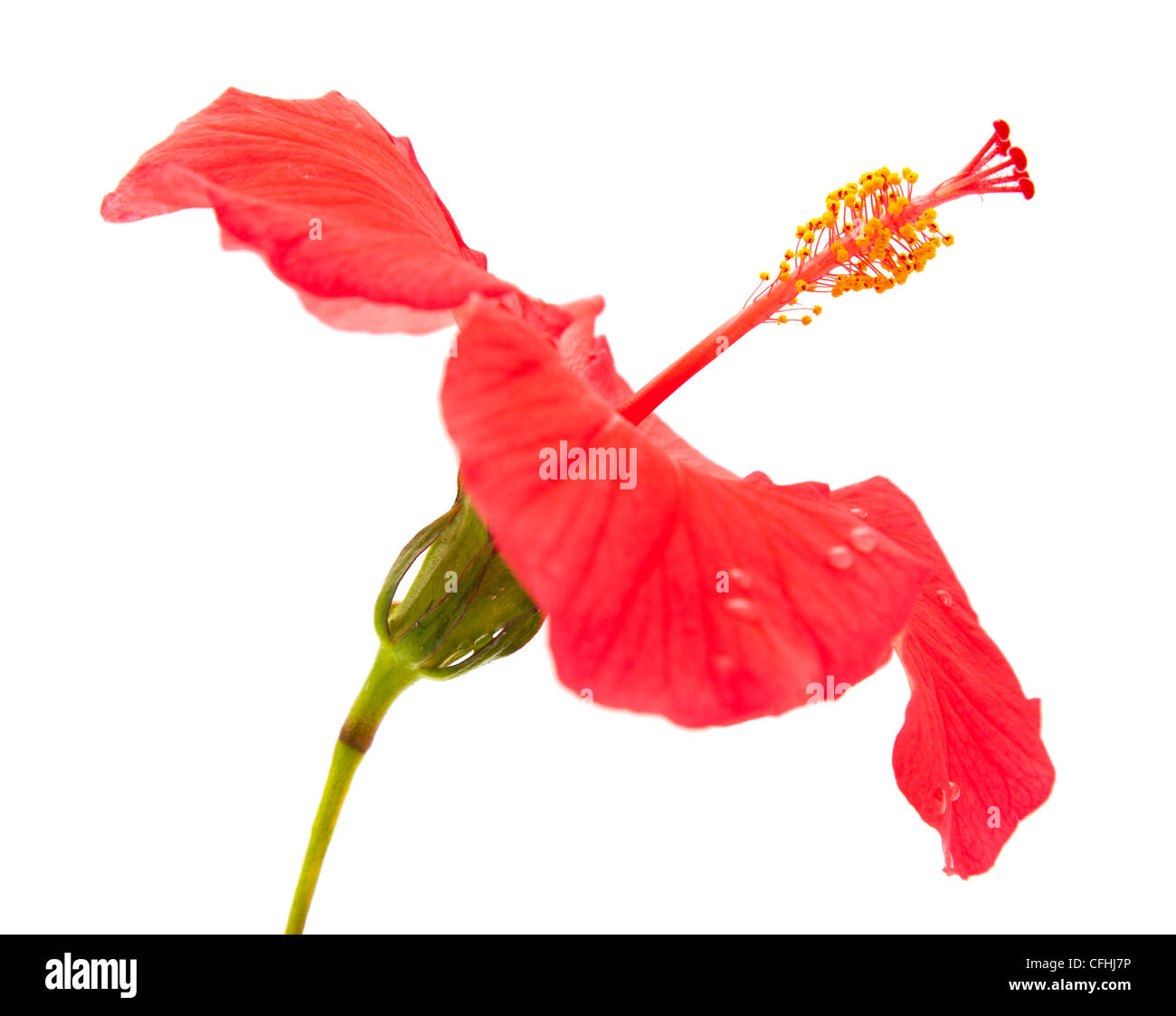 Bunga cut out stock images pictures alamy red hibiscus isolated on white background focus on style stock image ccuart Gallery