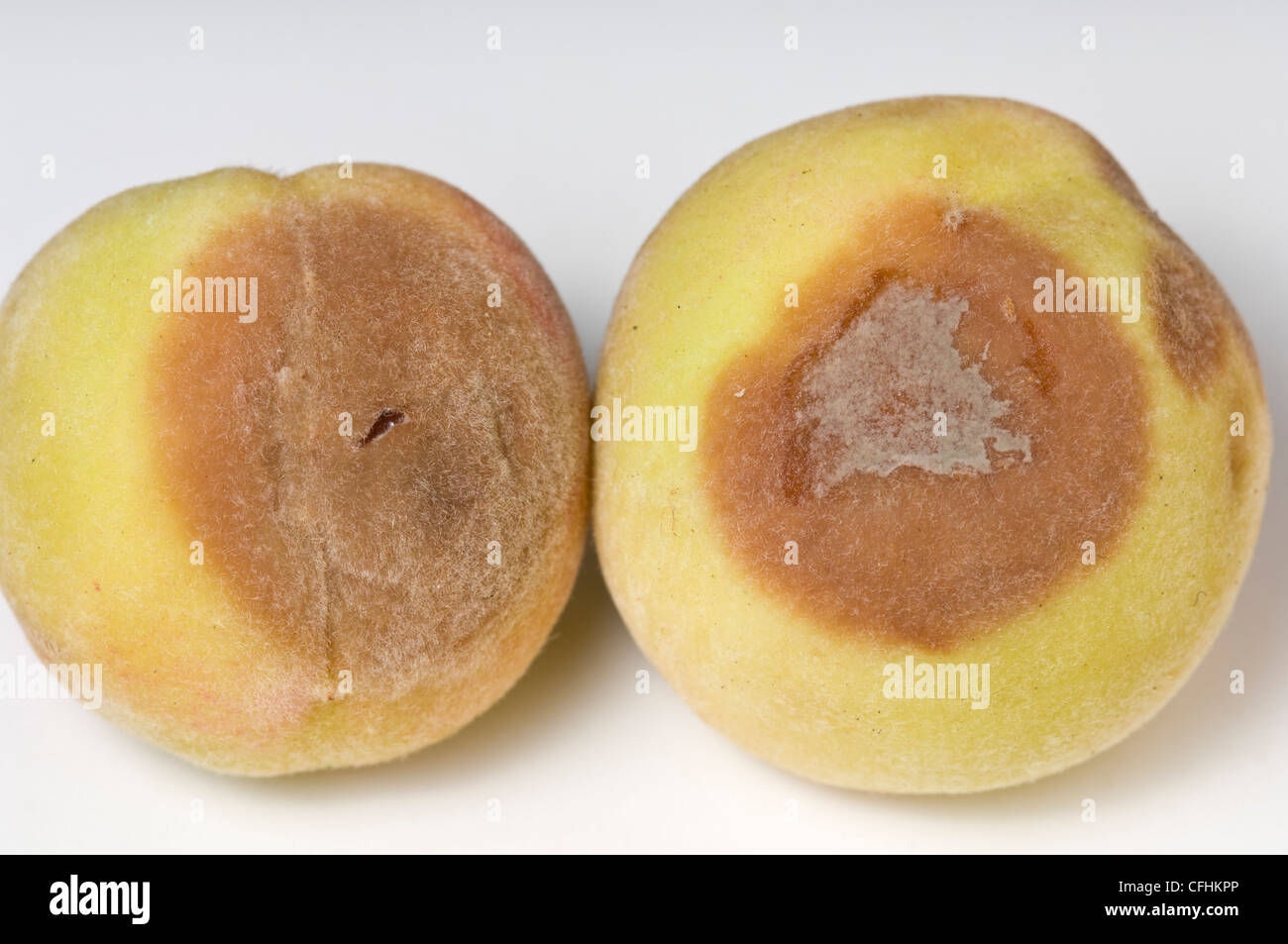 Brown rot symptoms on peaches - Stock Image