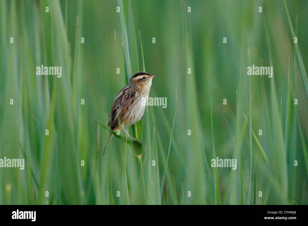 adult AQUATIC WARBLER Acrocephalus paludicola on its breeding grounds at Biebrza Marshes, Poland. May 2010. - Stock Image