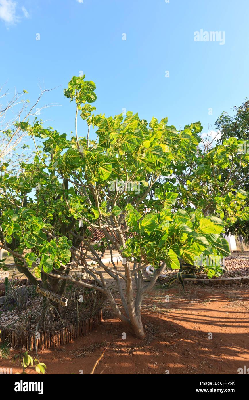 Erythrina indica picta, Family, Faboideae , Leguminosae , Papilionaceae, Coral Tree, Sunshine Tree, Brasileirinho - Stock Image