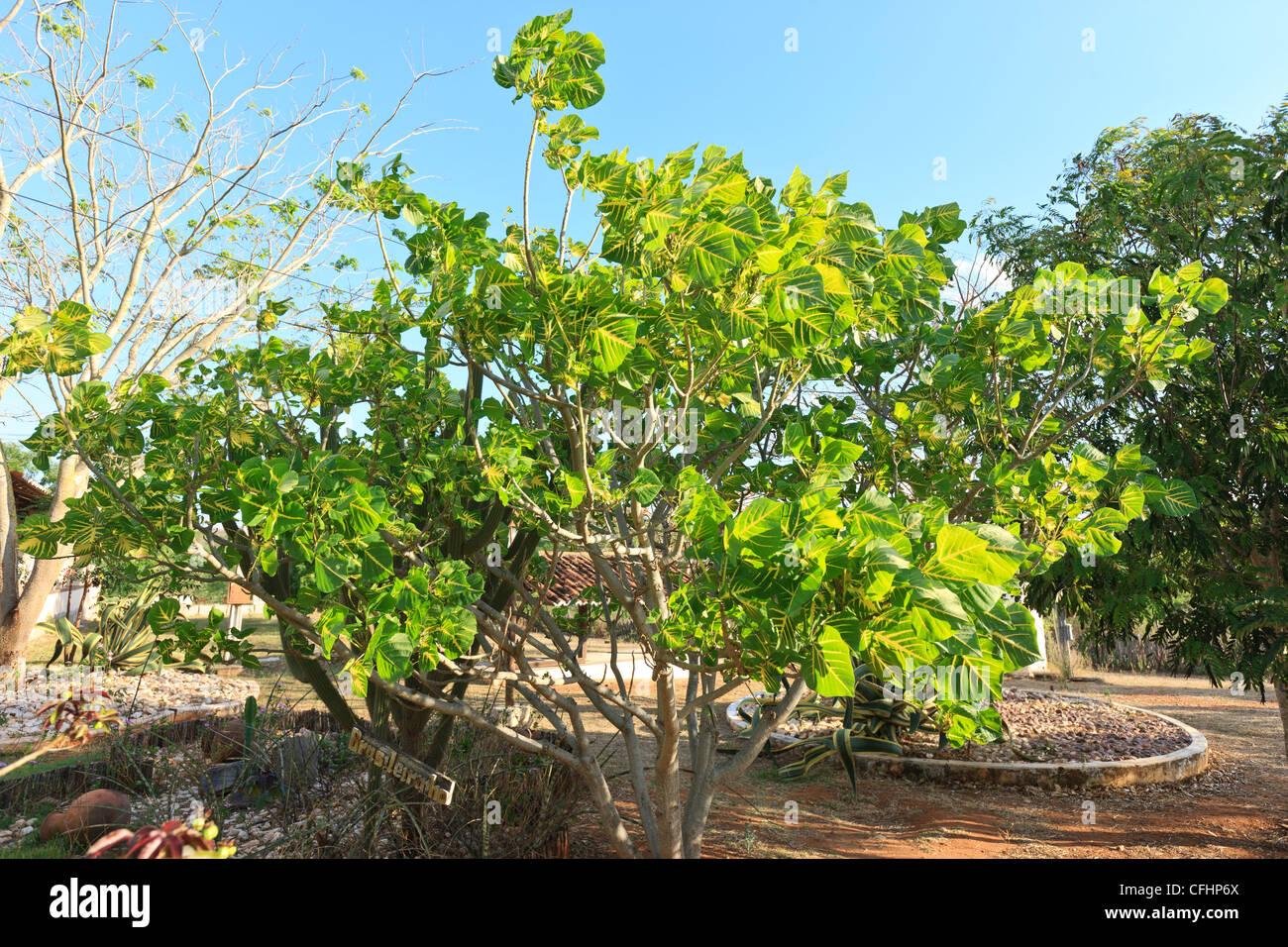 Erythrina indica picta, Faboideae , Leguminosae , Papilionaceae, Coral Tree, Sunshine Tree, Brasileirinho Tree, - Stock Image