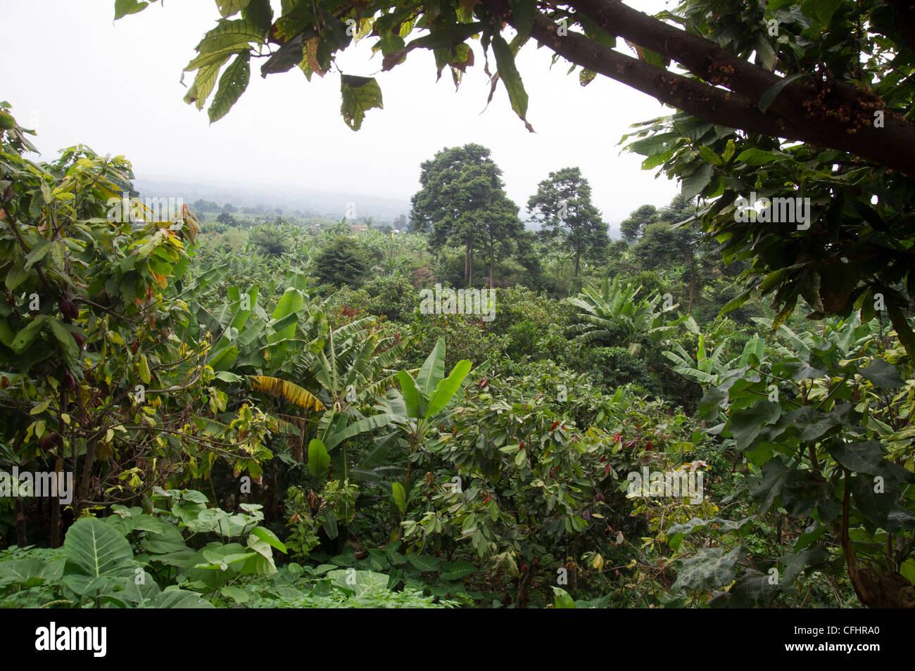 Farm in the Rwenzori Mountains near Bundibugyo, western Uganda. - Stock Image