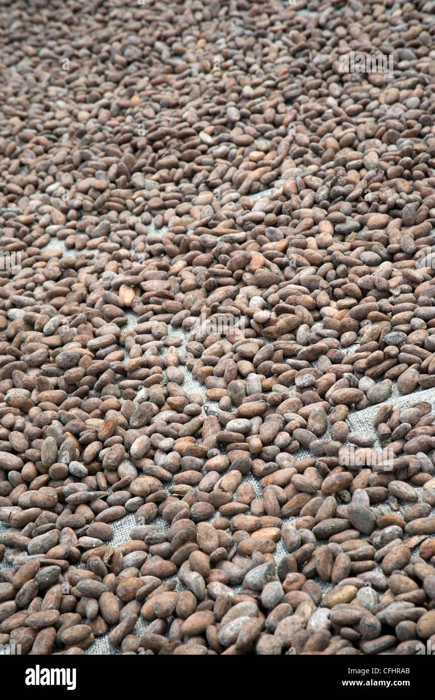 Cocoa beans drying in the sun in Bundibugyo, western Uganda. - Stock Image