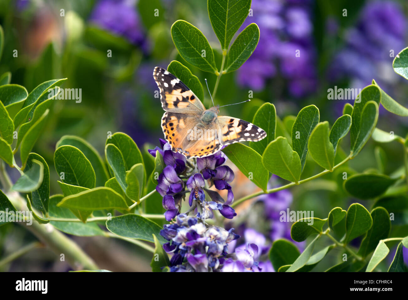 orange Butterfly on blooming purple lilac with green leafs - Stock Image