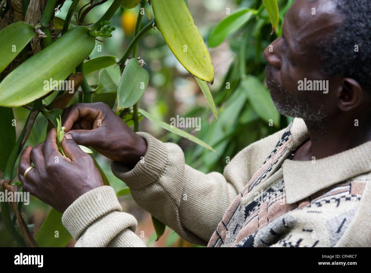 A  farmer fertilizes vanilla flowers on his farm in the Rwenzori Mountains near Bundibugyo, Uganda. - Stock Image