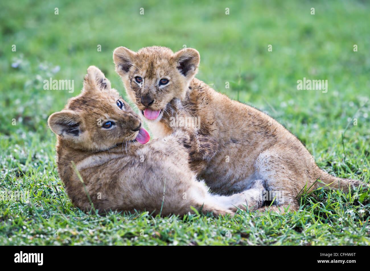 African Lion cubs playing, around 10 weeks old, Big Marsh, Ngorongoro, Tanzania - Stock Image
