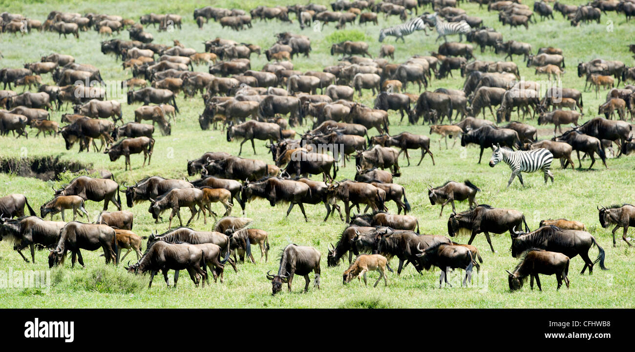 Massing herds of White-bearded Wildebeest on migration, Ndutu, Serengeti, Tanzania Stock Photo