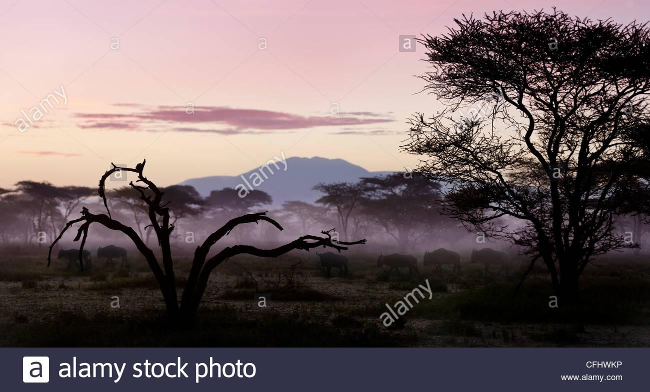 White-bearded Wildebeest migrating through Acacia woodland at dawn, Serengeti, Tanzania - Stock Image