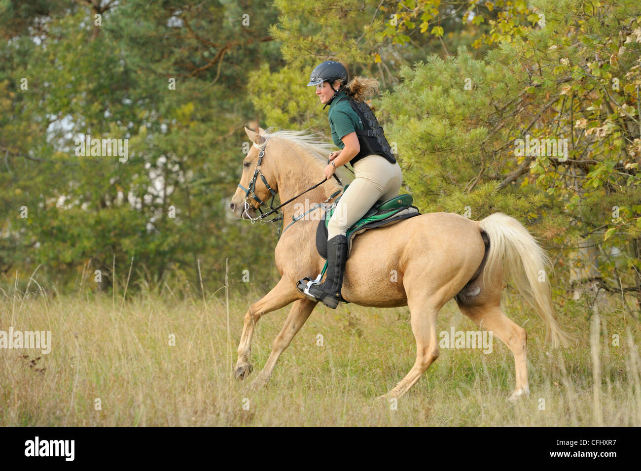 Rider wearing a back protector galloping on a sweating palomino thoroughbred horse - Stock Image