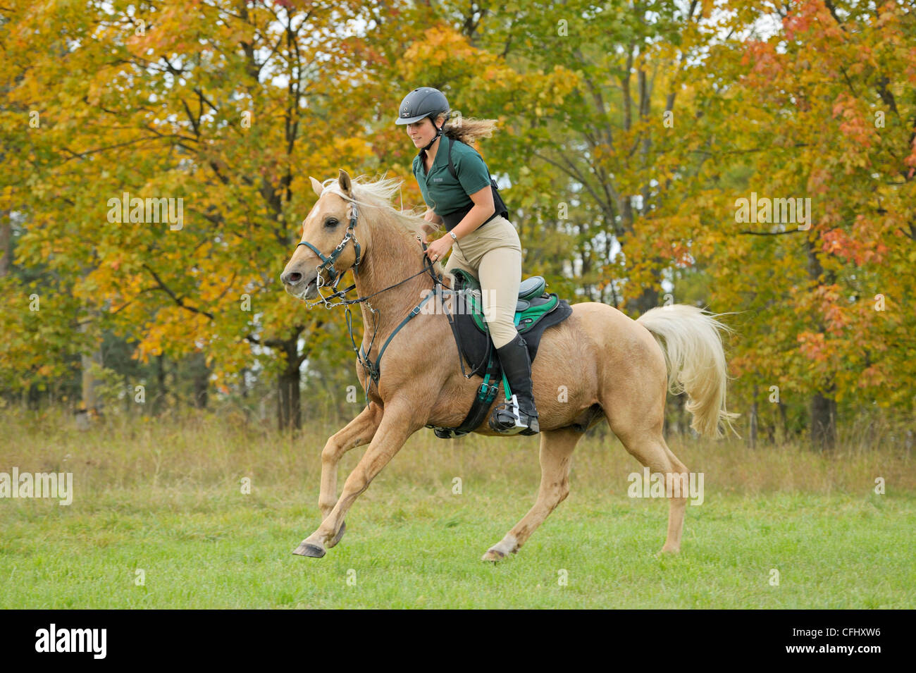 Rider wearing a back protector galloping on a heavy sweating palomino thoroughbred horse (endurance riding) - Stock Image