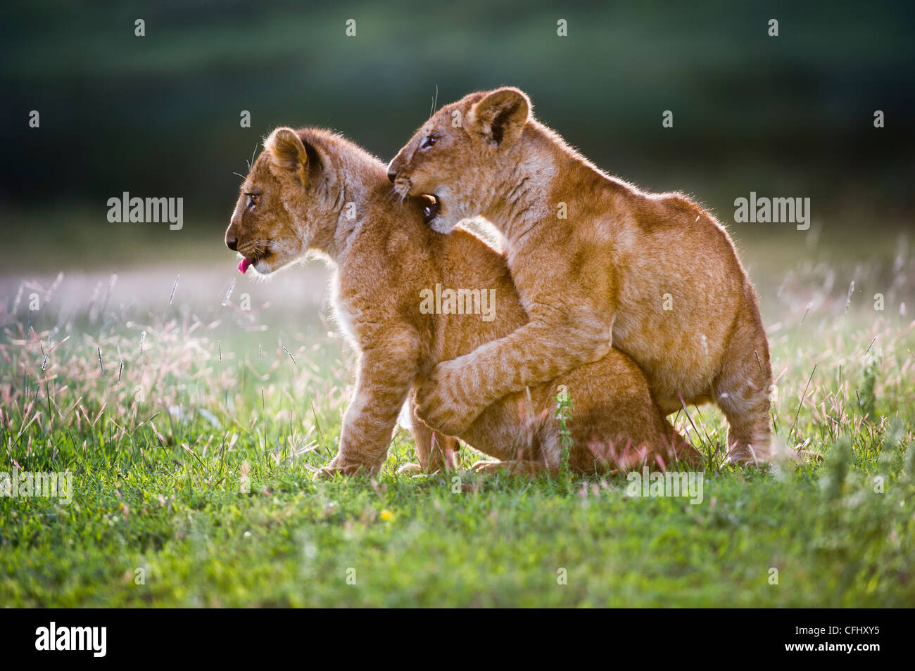 African Lion cubs around 4 month old cub playing together, Big Marsh, Serengeti, Tanzania - Stock Image