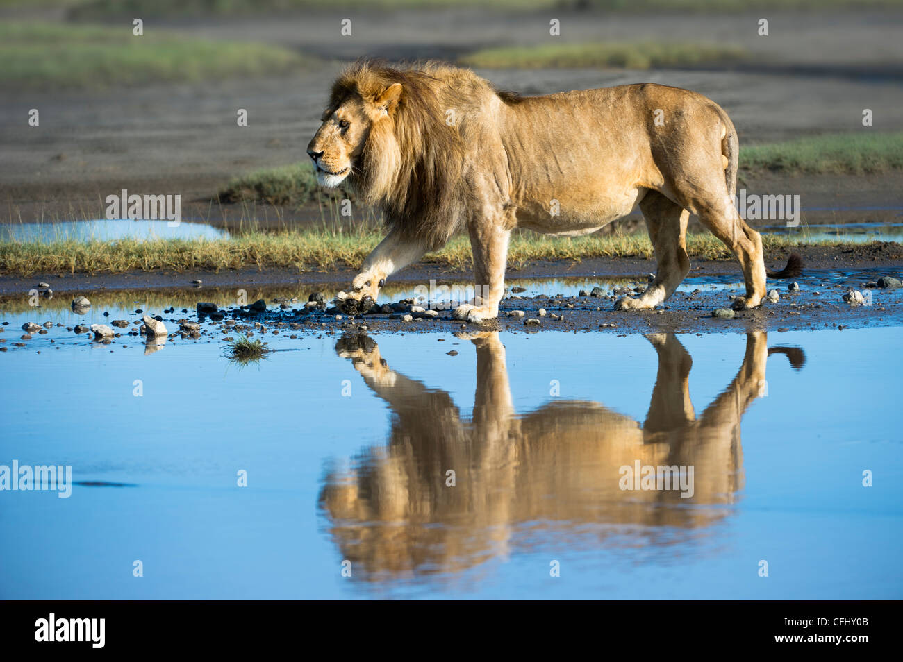 Male African Lion showing reflection at Big Marsh, Ngorongoro, Serengeti, Tanzania - Stock Image
