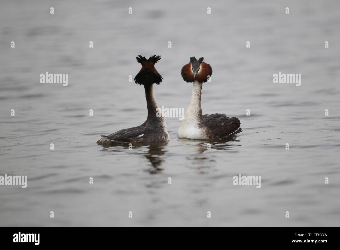 Great Crested Grebe's, Podiceps cristatus performing their head-to-head courtship display, East Yorkshire, UK - Stock Image