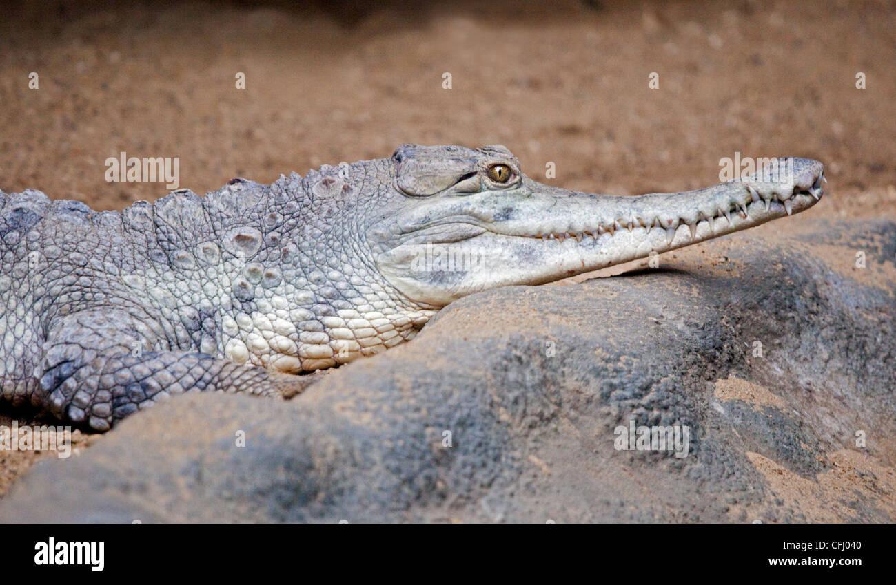 Slender Snouted Crocodile (crocodylus cataphractus) - Stock Image