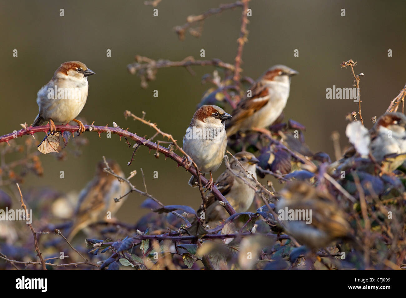 House Sparrow Passer domesticus colony in farm hedgerow - Stock Image