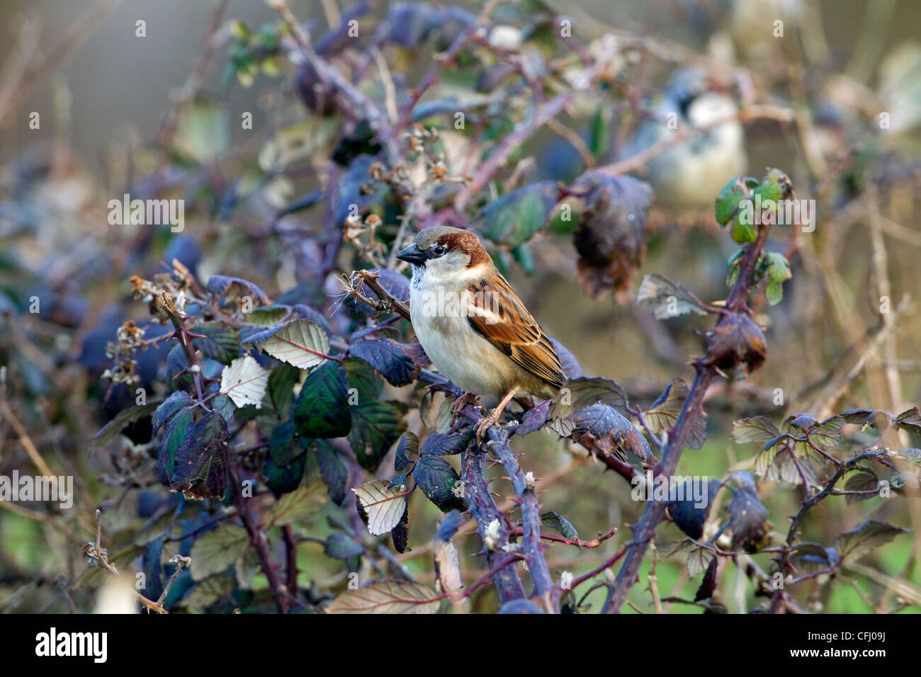 House Sparrow colony in farm hedgerow - Stock Image