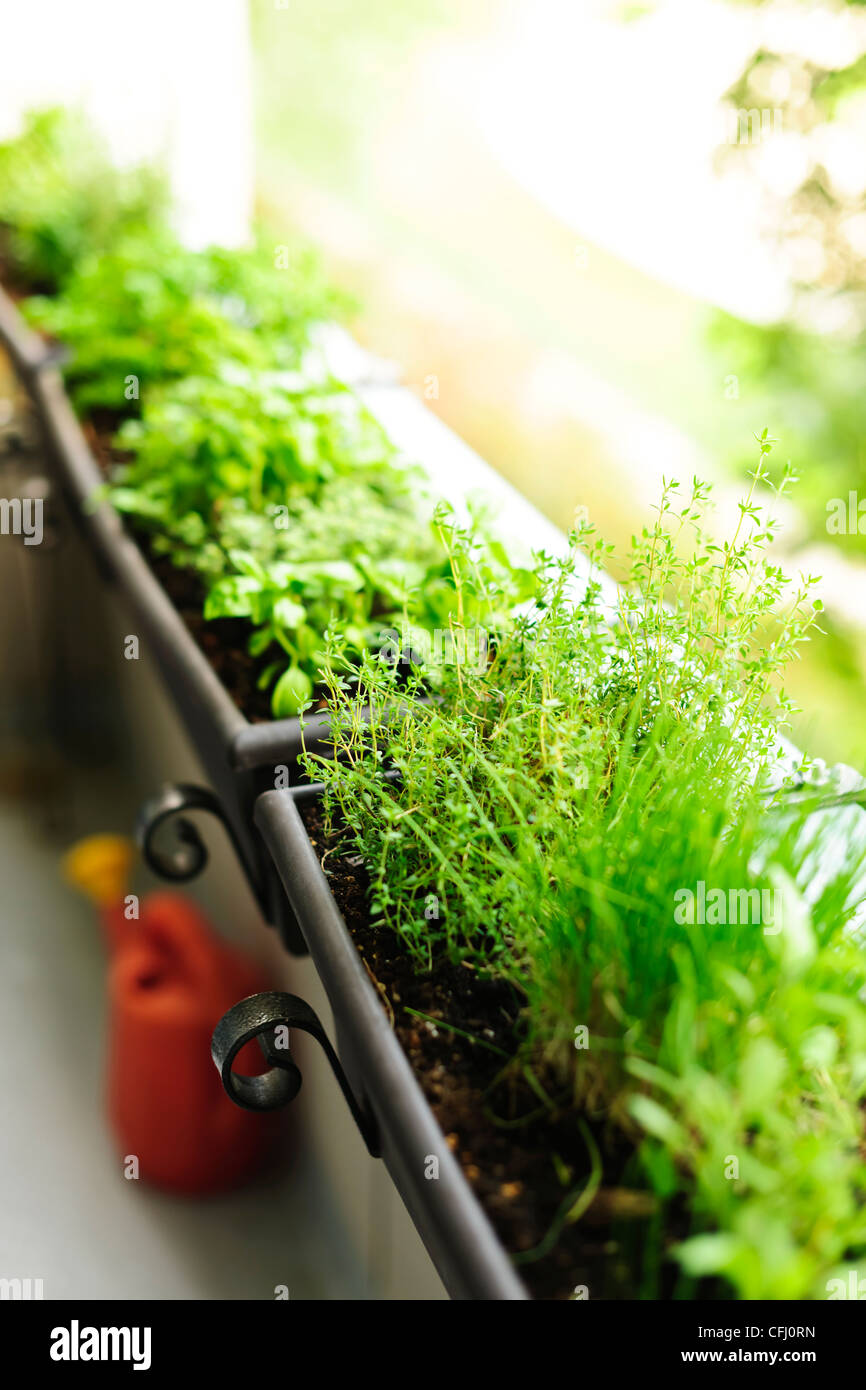 Fresh herbs growing in window boxes on bright balcony - Stock Image
