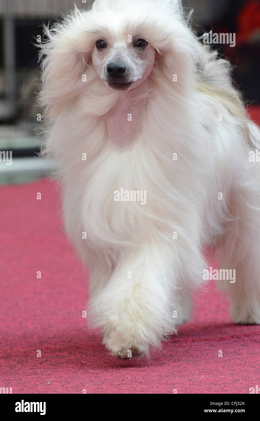 Chinese Crested Dog can appear in two varieties. Hairless and powderpuff (depicted here) with a double coat - Stock Image