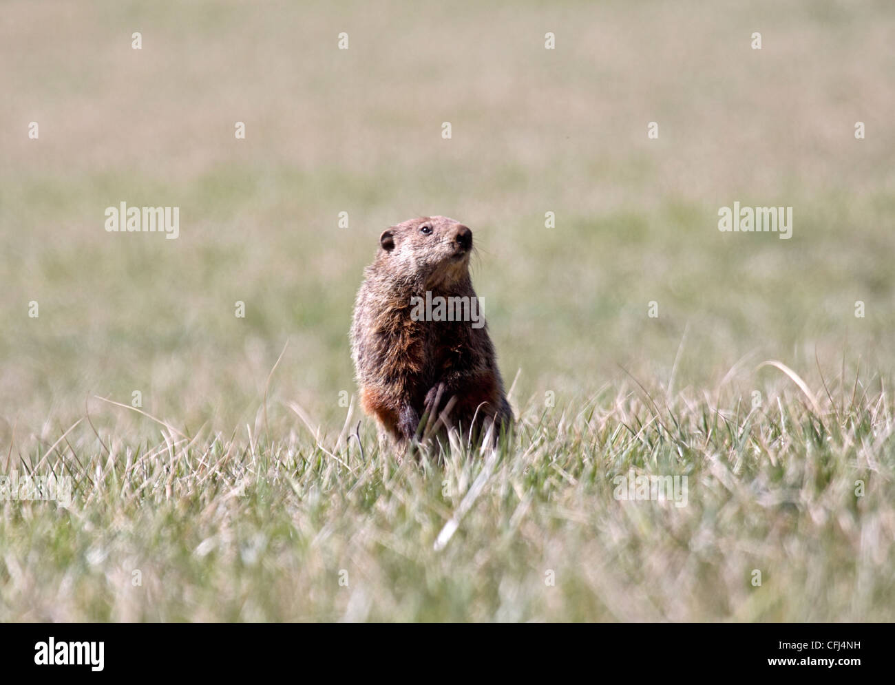 Groundhog or Woodchuck peering intently in field in North Carolina - Stock Image