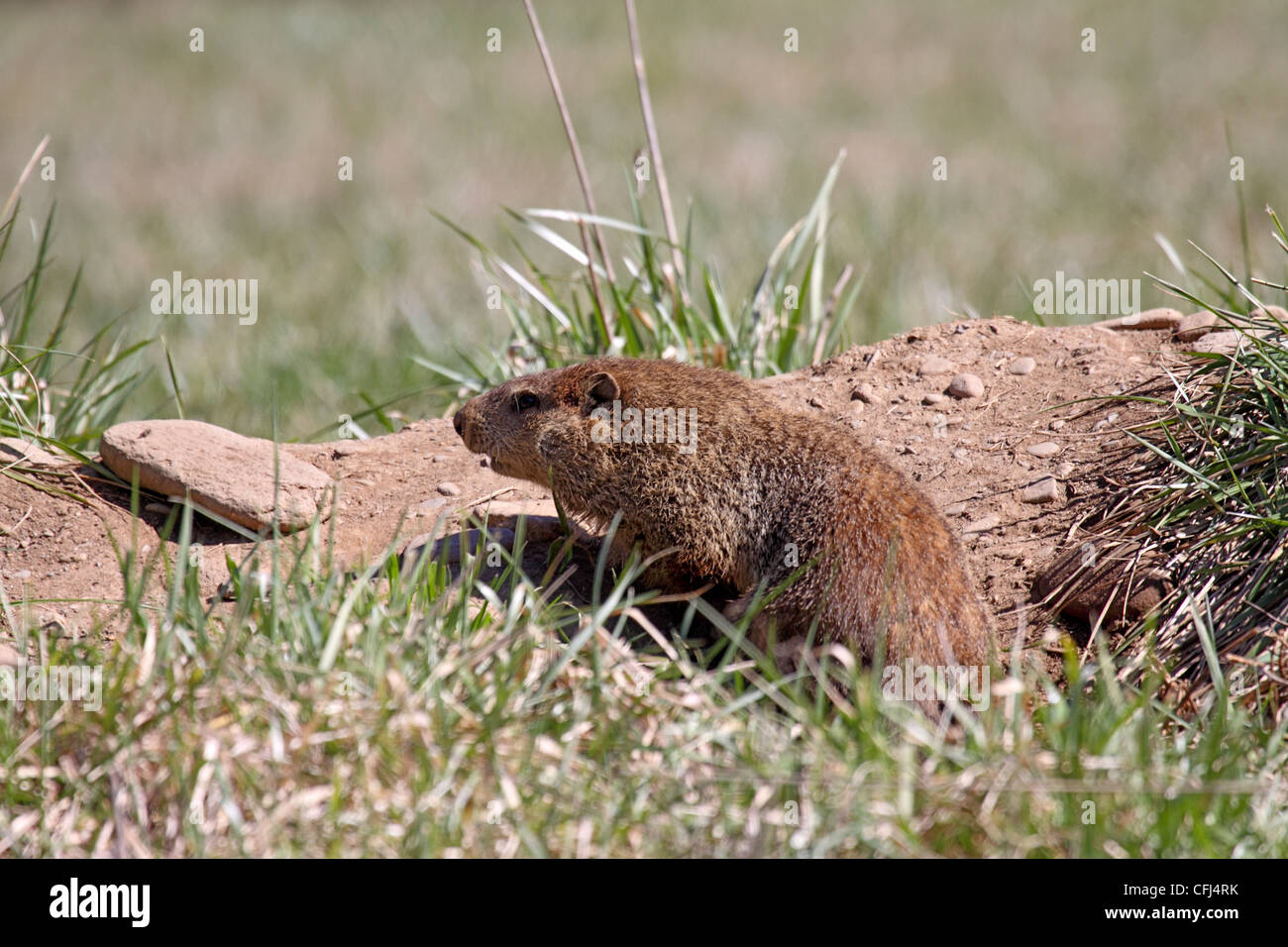 Groundhog or Woodchuck sitting at entrance to burrow in field in North Carolina - Stock Image