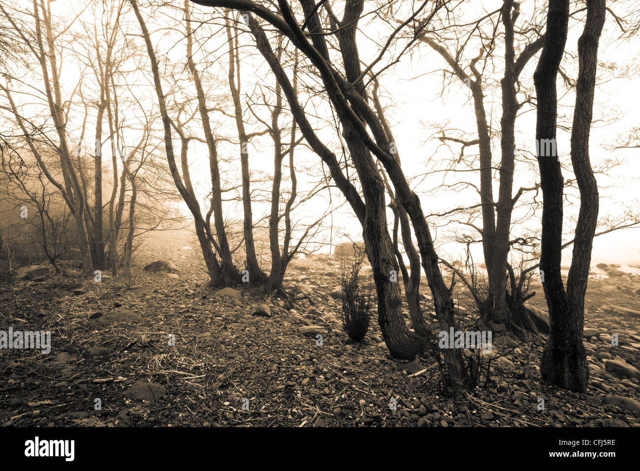 Trees in fog at the island Jeløy in Moss kommune, Østfold fylke, Norway. - Stock Image