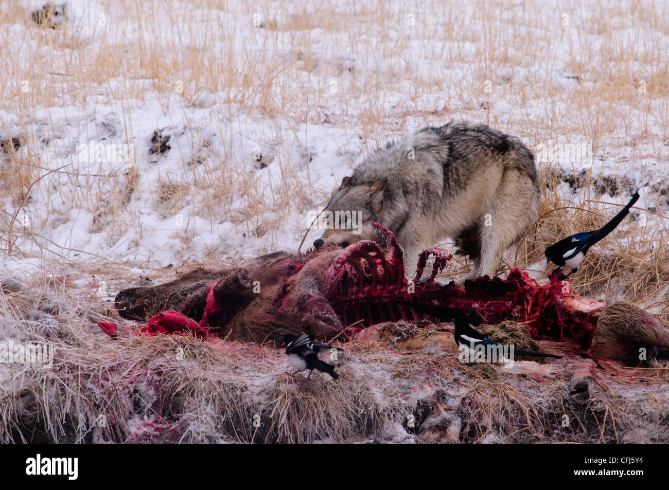 Gray wolf eating from a dead elk which was killed during the night before - Stock Image
