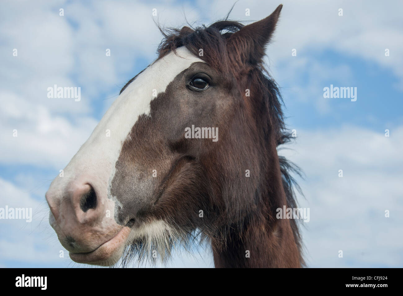 Clydesdale Draft Horse mare Stock Photo