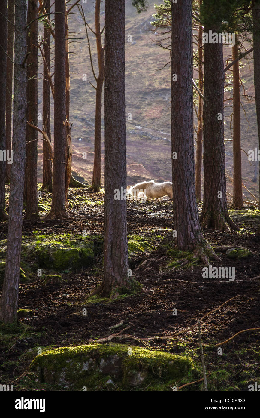 Highland pony in sunlight amid dark woodland, Scottish Highlands - Stock Image
