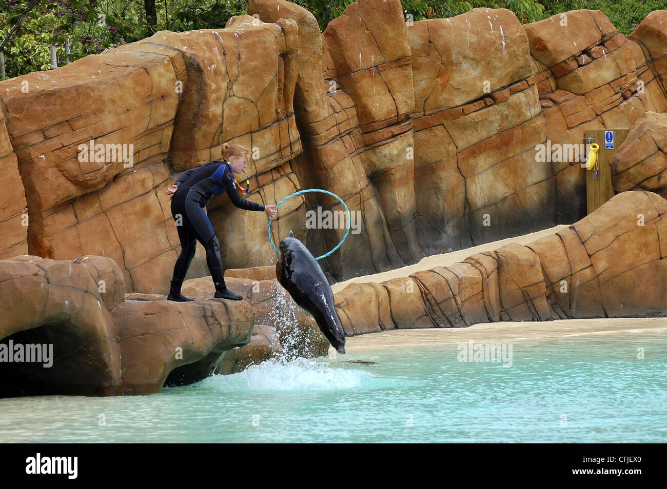 Seal jumping through hoop held by trainer in wetsuit at Blackpool Zoo - Stock Image
