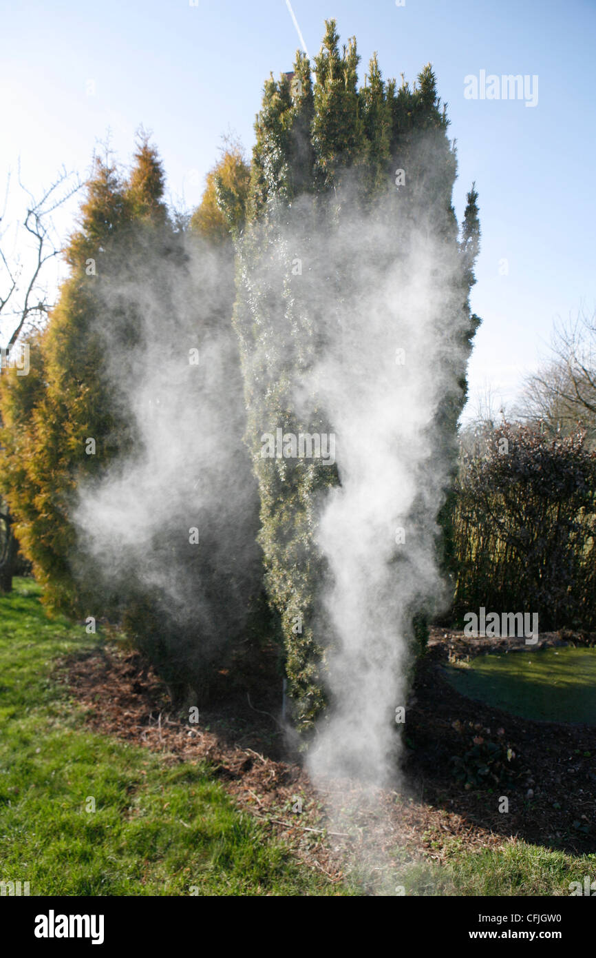 Spectacular and amazing eruption of pollen from the Taxus Baccata tree (Conifer). - Stock Image