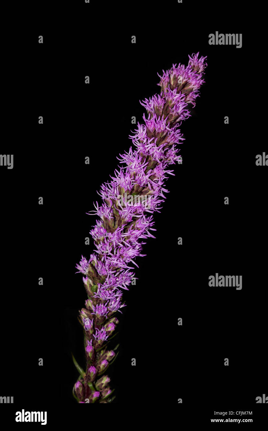 Wild flower, blazing Star on a black background - Stock Image