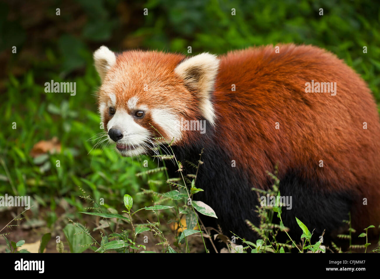 Red Panda (Ailurus fulgens), Panda Breeding and Research Centre, Chengdu, Sichuan province, China, Asia - Stock Image