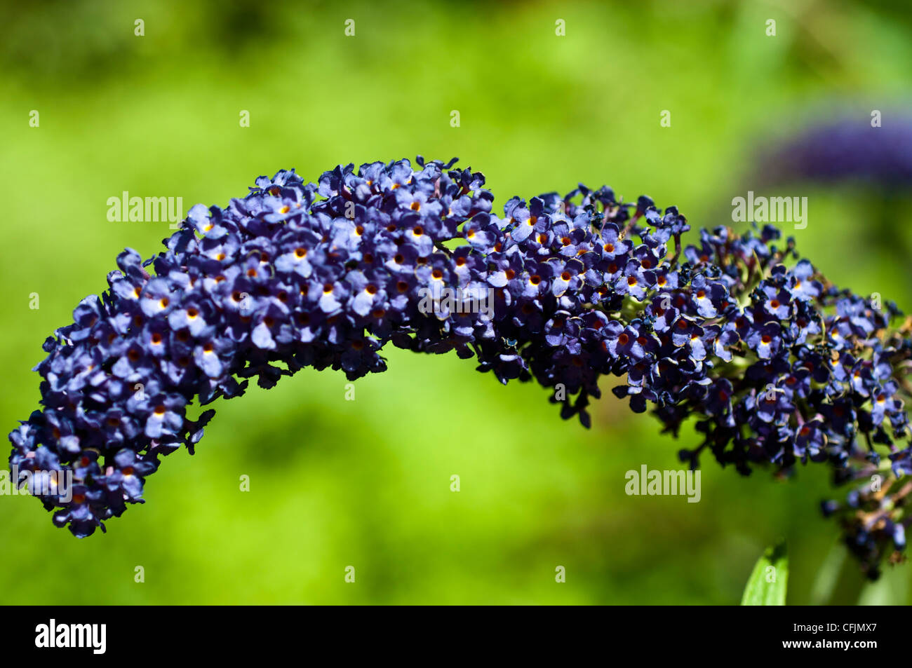 Purple violet flowers of Butterfly Bush, Buddleia Davidii with green dissolved background - Stock Image