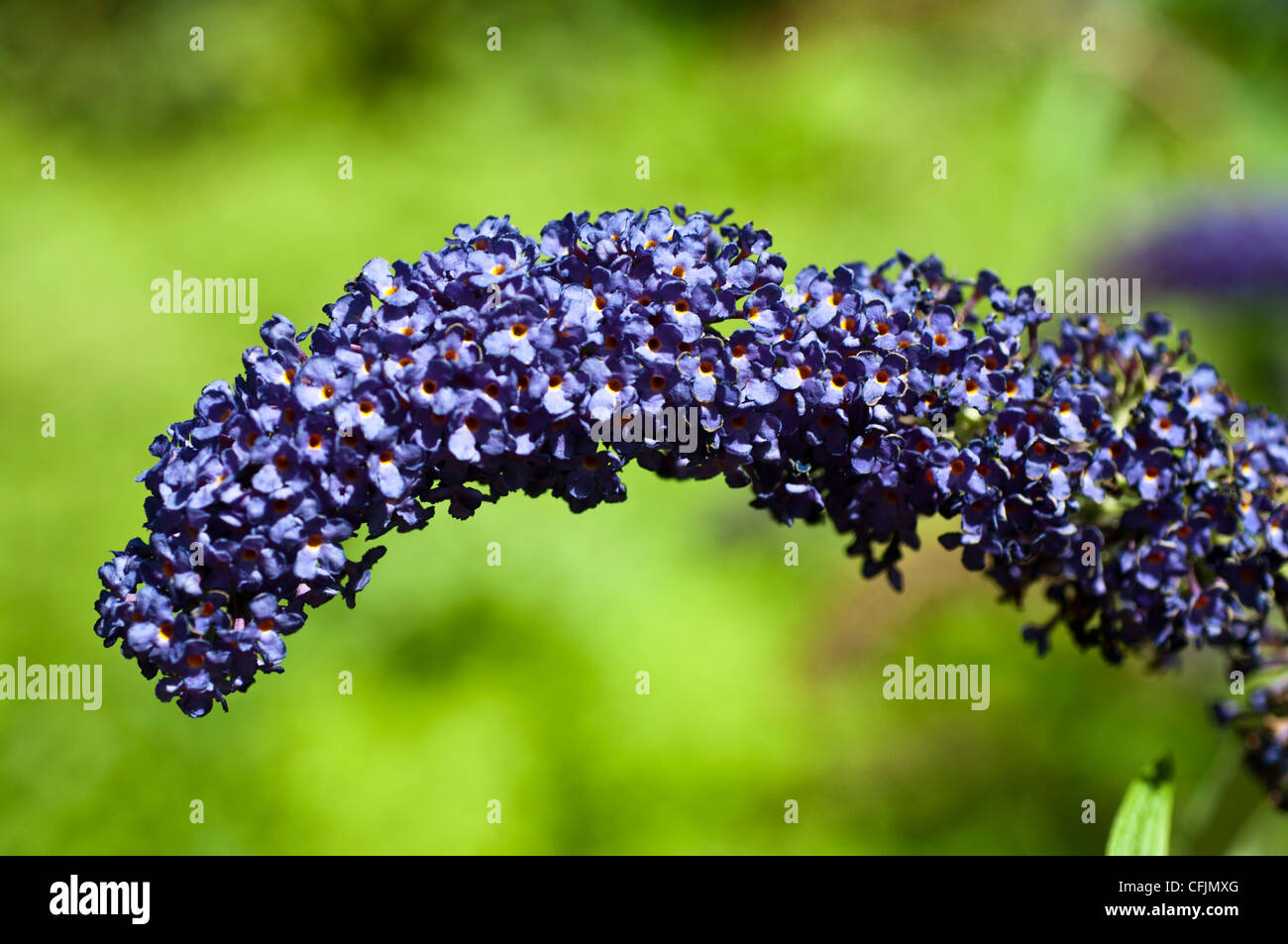 Purple violet flowers of Butterfly Bush, Buddleia Davidii with green dissolved background, blossom, bloom - Stock Image