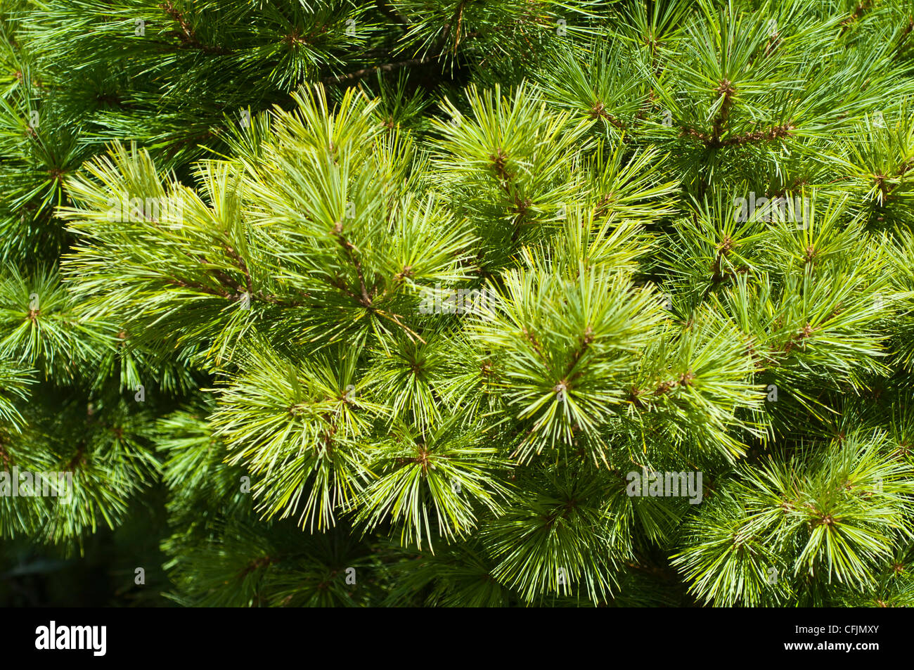 Green conifers close up of Pinus Strobus, Pinaceae, Eastern White Pine, North America - Stock Image