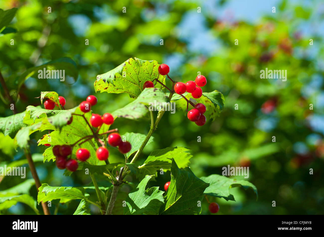 red berries of cranberry viburnum caprifoliaceae. Black Bedroom Furniture Sets. Home Design Ideas