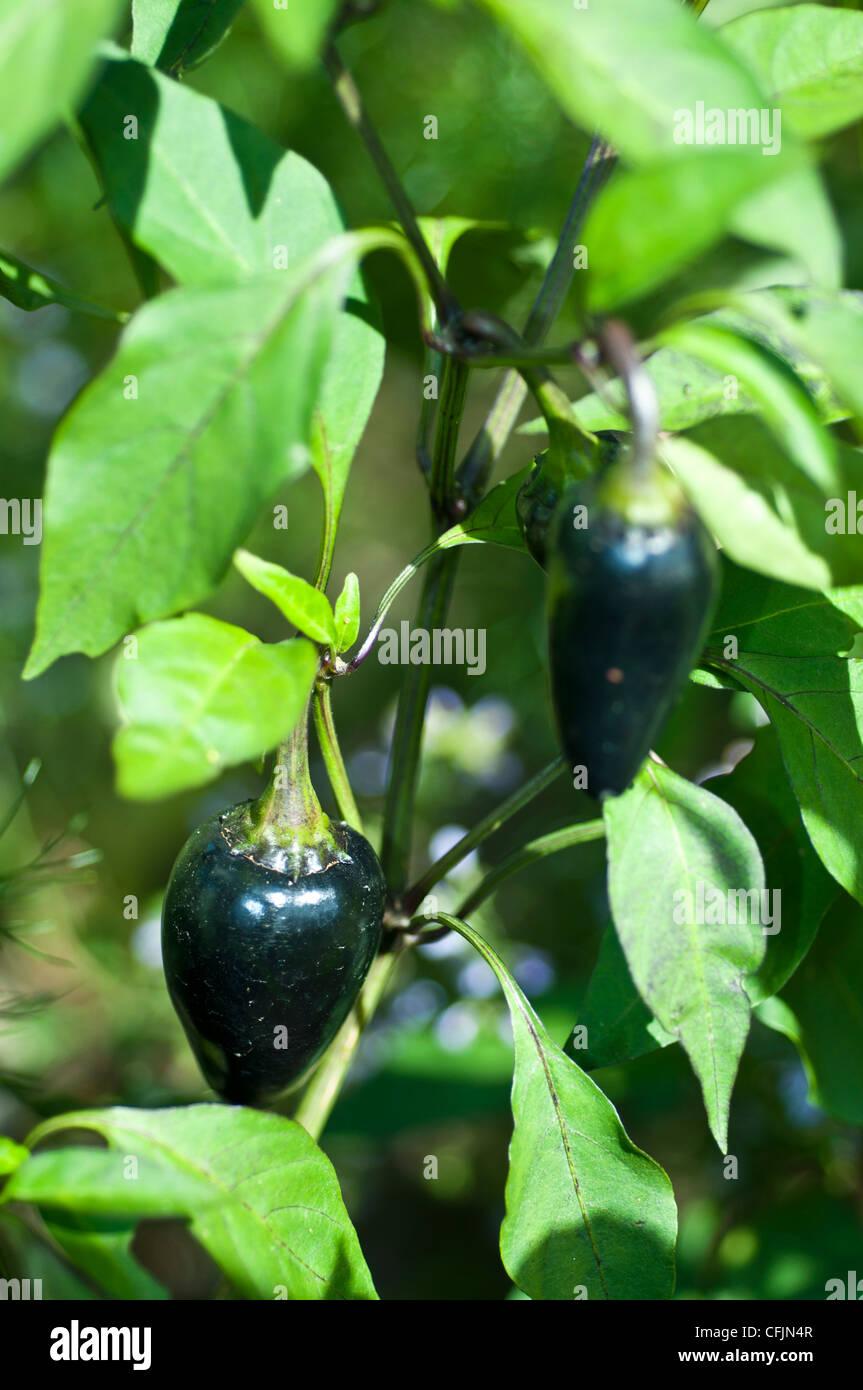 Czechoslovakian Black Pepper, Capsicum Annuum, Solanaceae - Stock Image
